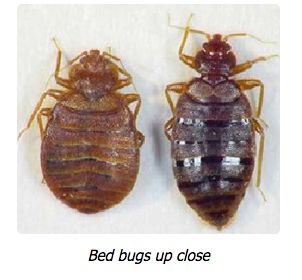 Getting Rid Of Bed Bugs!